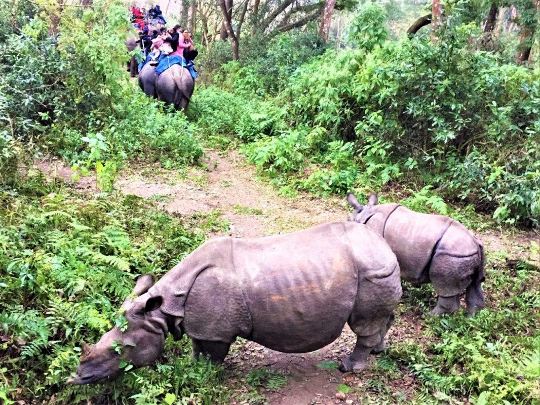 One Horned Rhinos